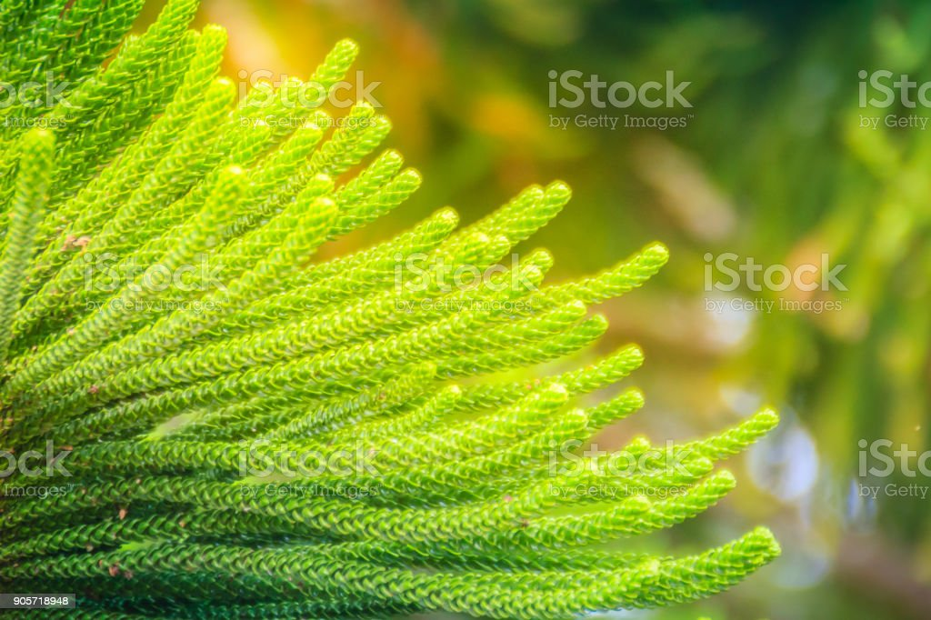 Norfolk Island pine (Araucaria heterophylla) green leaves background.  It's also known as star pine, triangle tree or living Christmas tree, due to its symmetrical shape as a sapling. stock photo