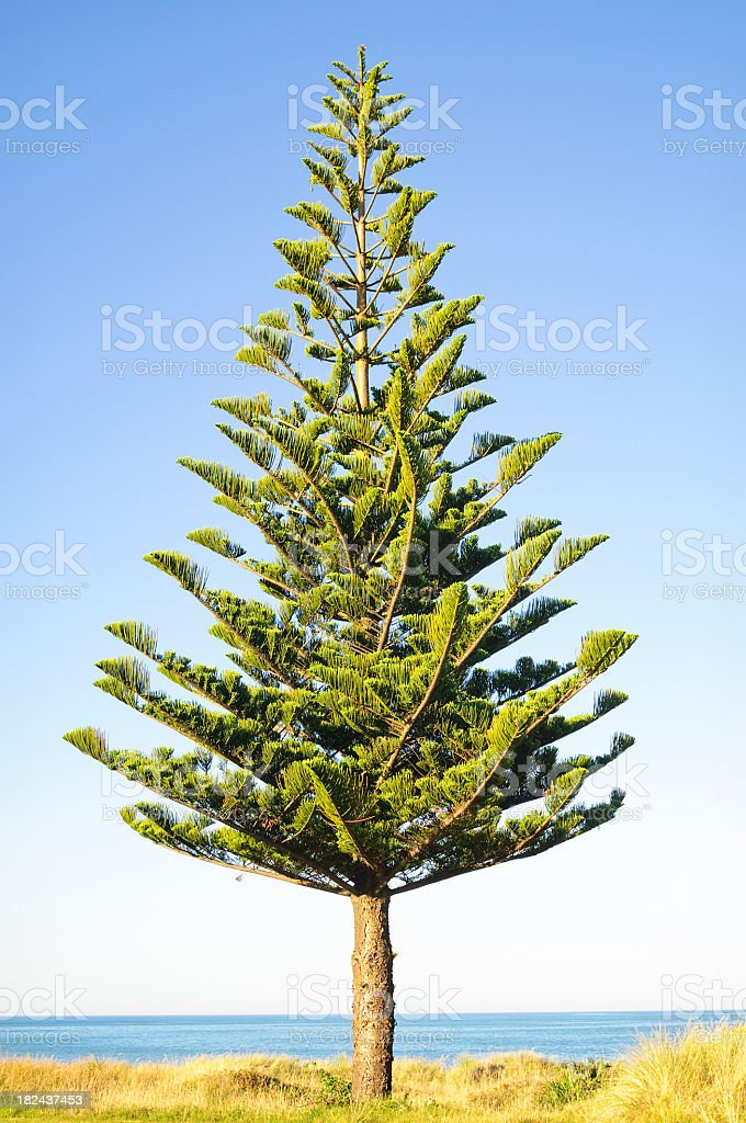 Norfolk Island Pine Tree stock photo