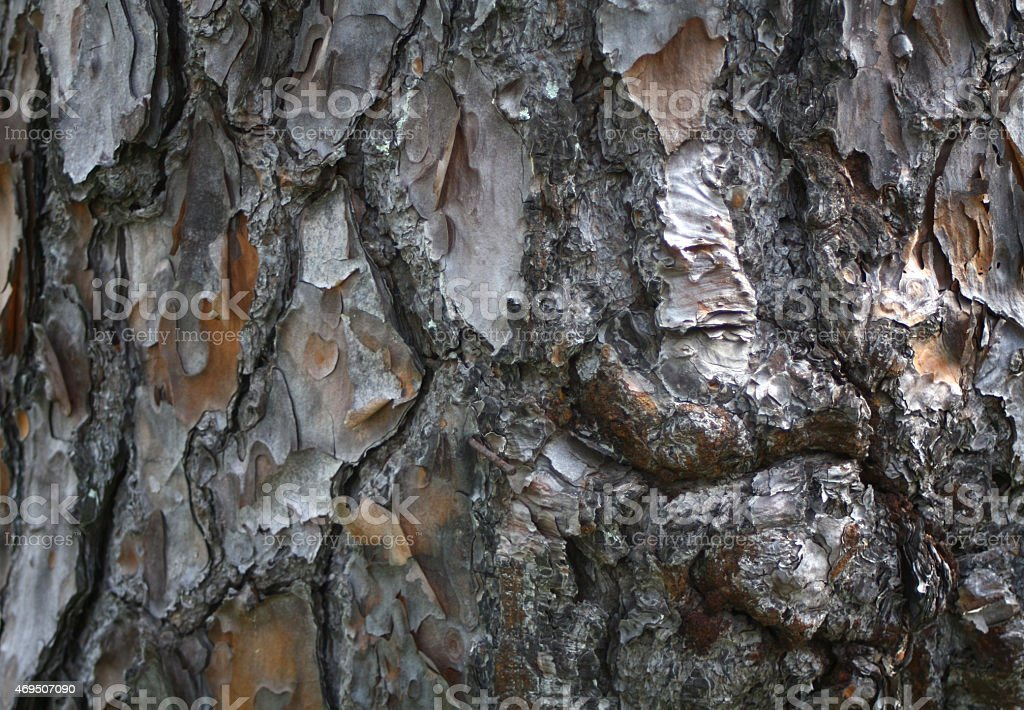 Norfolk Pine Tree Bark stock photo