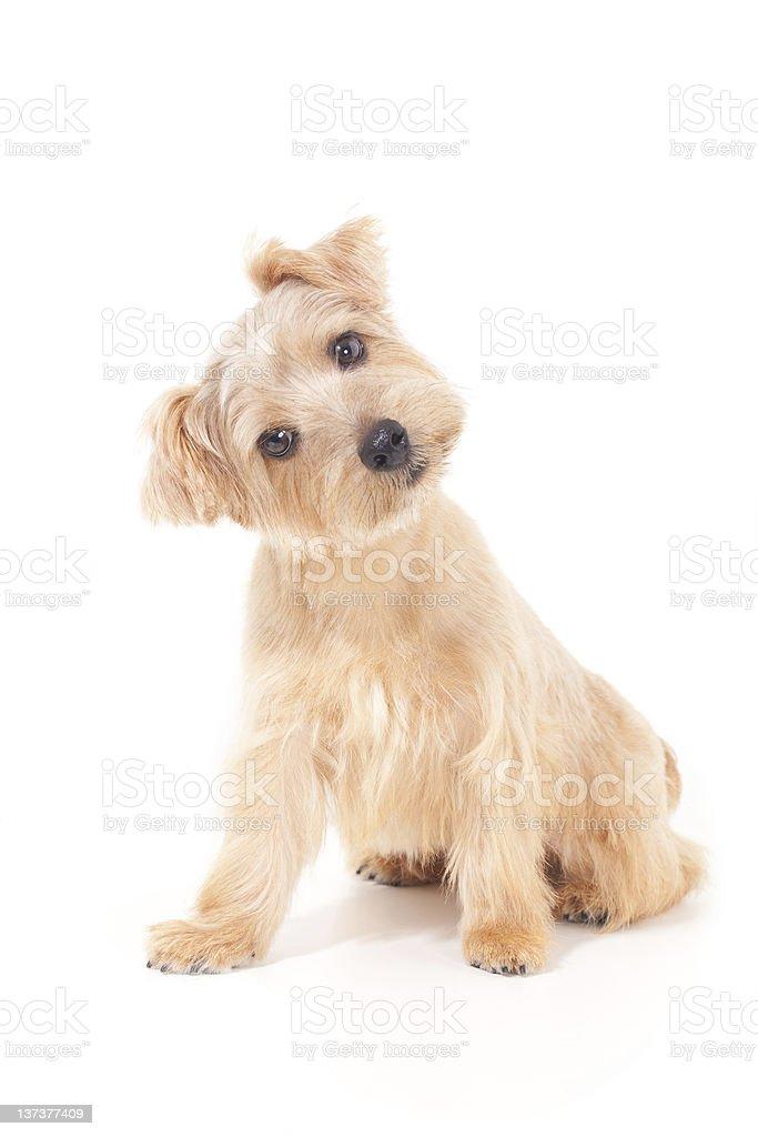 Norfolk terrier dog royalty-free stock photo