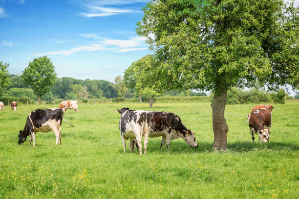 Norman black and white cows grazing on grassy green field with trees on a bright sunny day in Normandy, France. Summer countryside landscape and pasture for cows Norman black and white cows grazing on grassy green field with trees on a bright sunny day in Normandy, France. Summer countryside landscape and pasture for cows normandy stock pictures, royalty-free photos & images