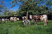 Normandy Cow, Cattle under Appel Tree, Normandy