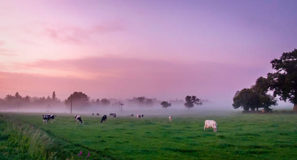 Normandy Dusk-6 Normand cows in a field of the Orne countryside at dusk in summer, Normandy France normandy stock pictures, royalty-free photos & images