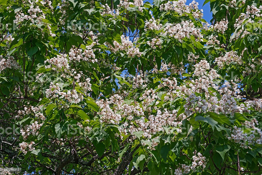 Nortern catalpa tree in blosson royalty-free stock photo