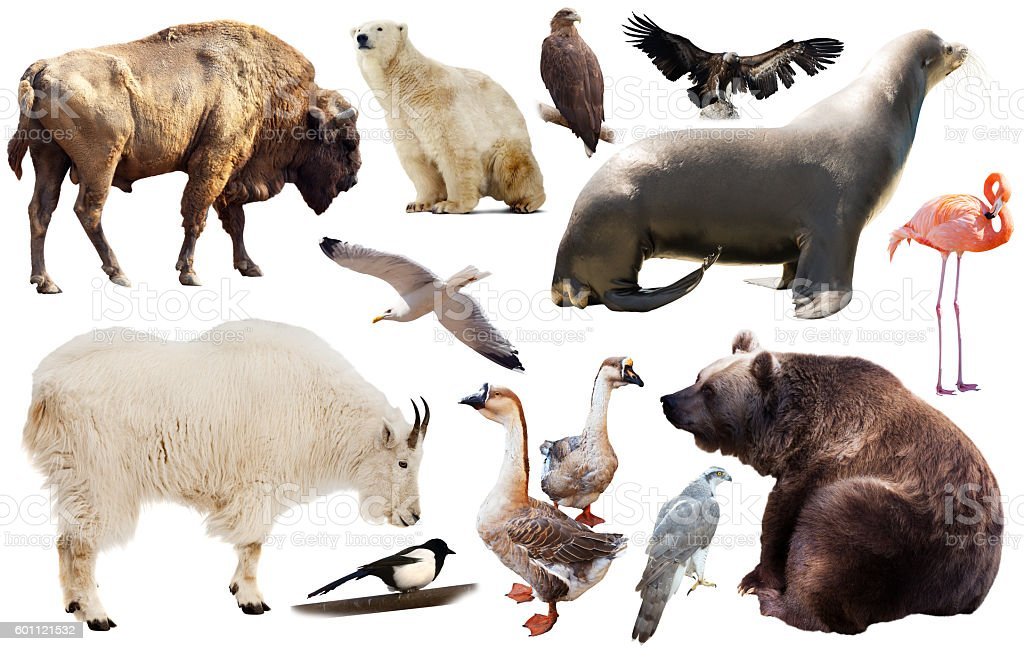 north america animals isolated stock photo