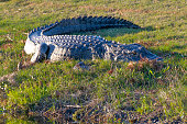 North American Alligator basking in the sun