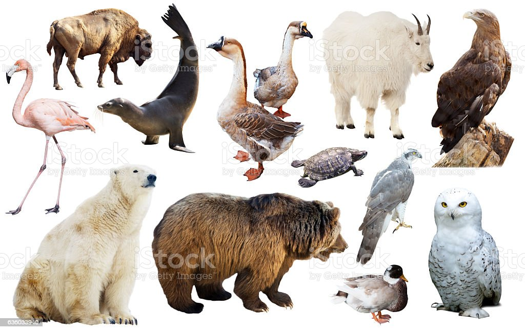 north american animals isolated stock photo