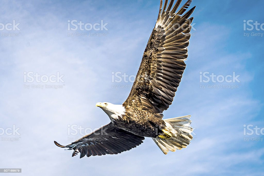 North American bald eagle mid flight stock photo