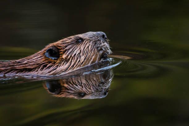 Castor nord-américain - Castor canadensis - Photo