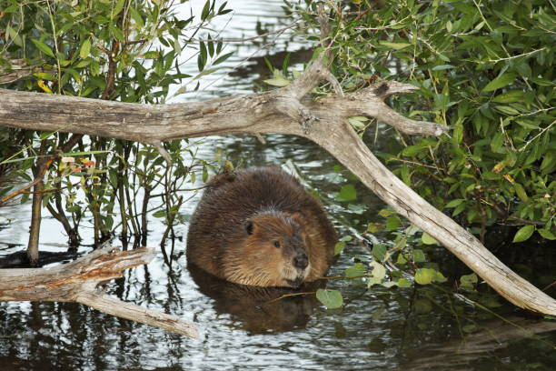 North American Beaver Castor canadensis Swimming stock photo