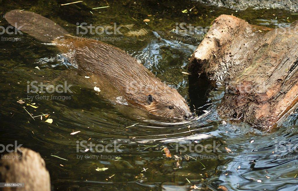 North American Beaver Castor Canadensis Wild Animal Swimming Dam stock photo