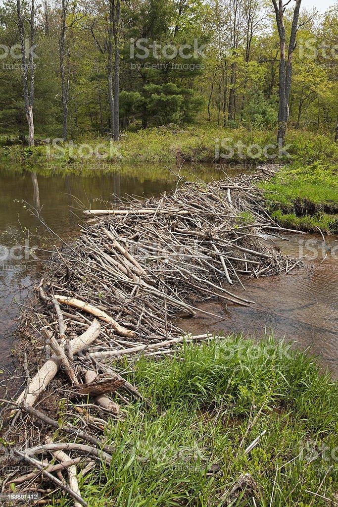 North American Beaver Dam royalty-free stock photo