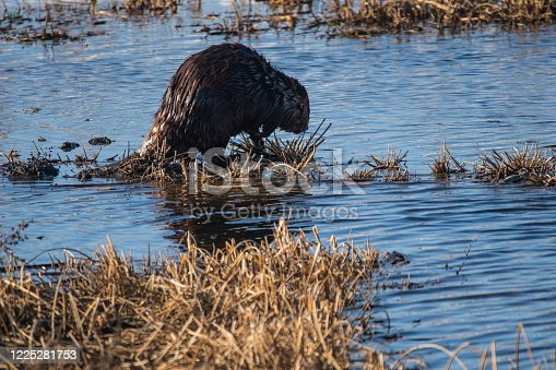 istock North American Beaver In Spring 1225281753