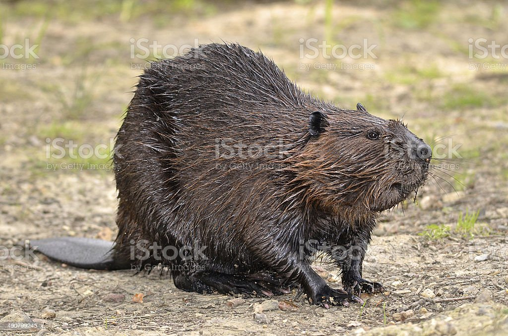 North American Beaver on ground stock photo