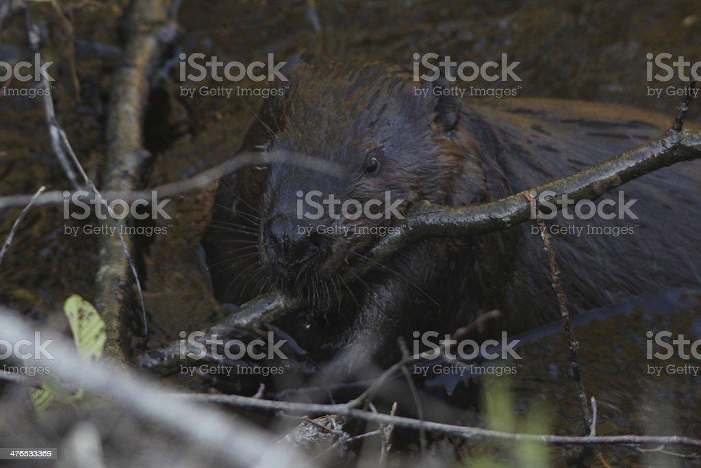 North American Beaver royalty-free stock photo