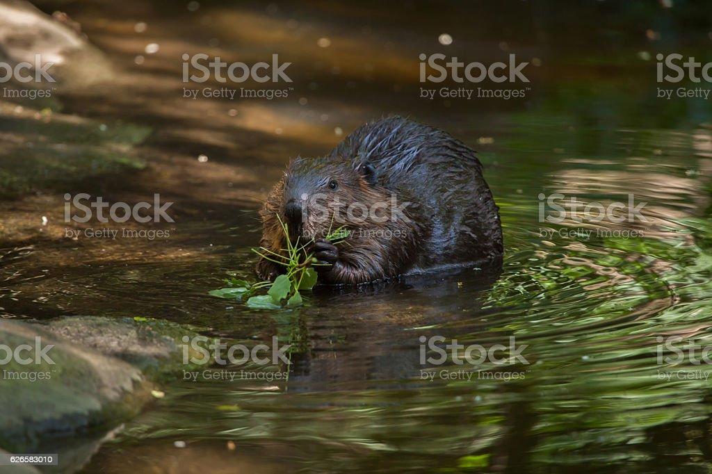 North American beaver (Castor canadensis) – Foto