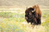 A North American Bison stands in the wild, looking into the distance.
