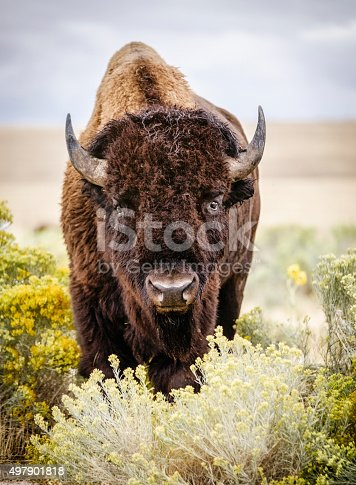 A North American Bison stands in the wild, staring at the camera.