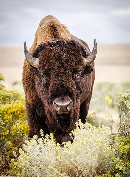 North American Bison bildbanksfoto