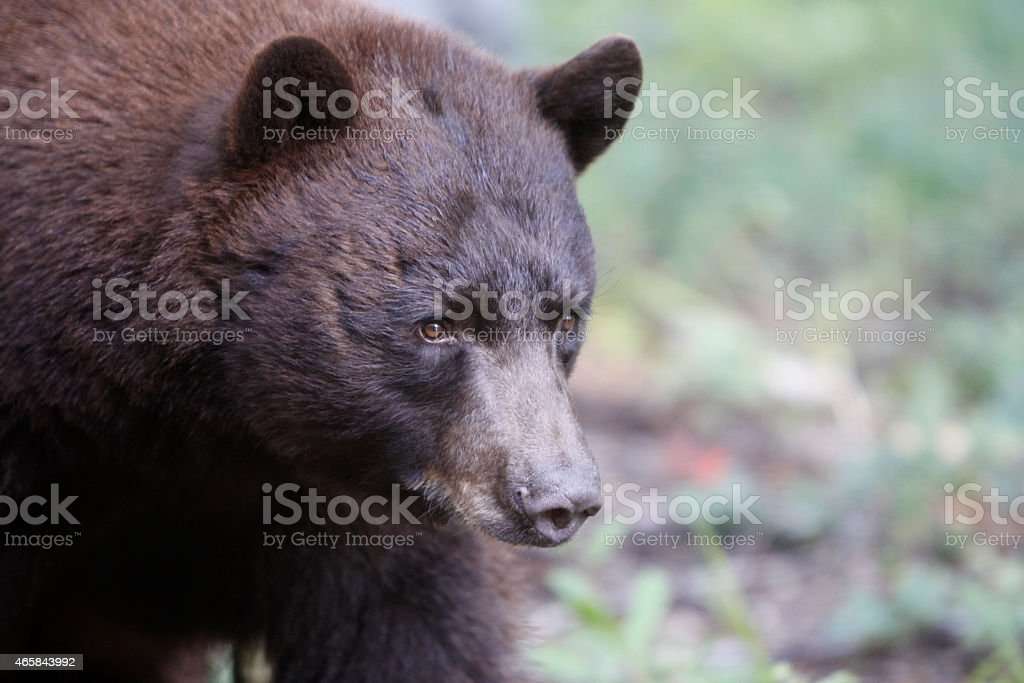 North American Black Bear Brown Fur Wildlife Nature Large Strong stock photo