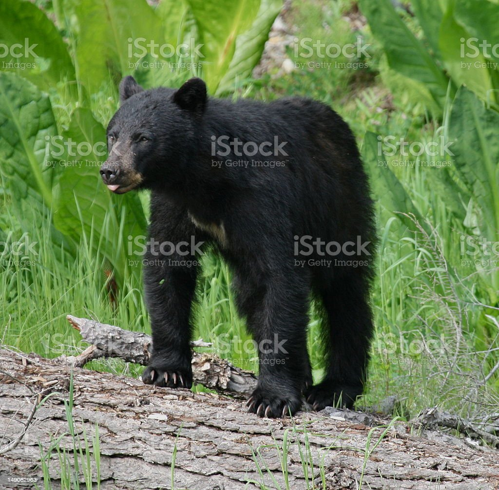 North American Black Bear royalty-free stock photo