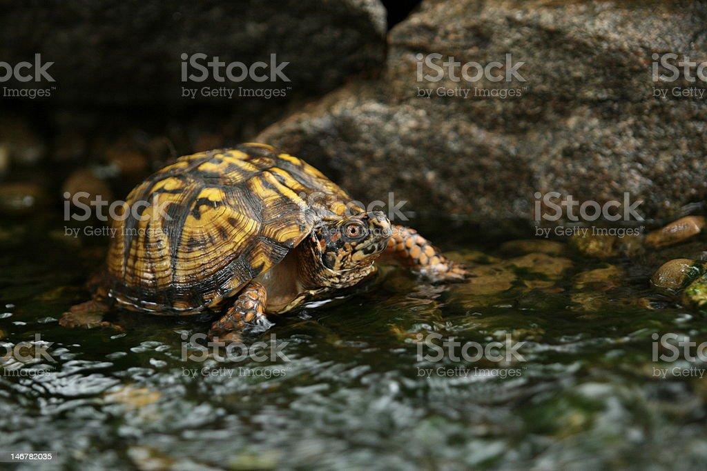 North American box turtle stock photo