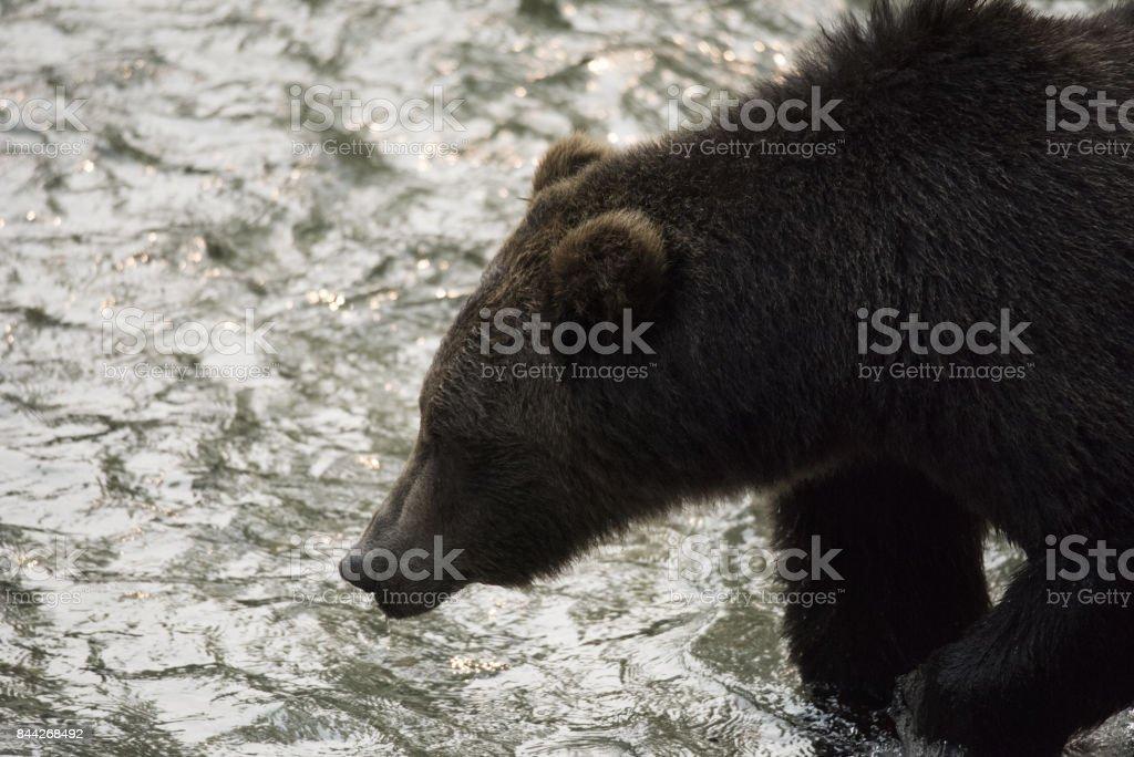 North American Brown Bear stock photo