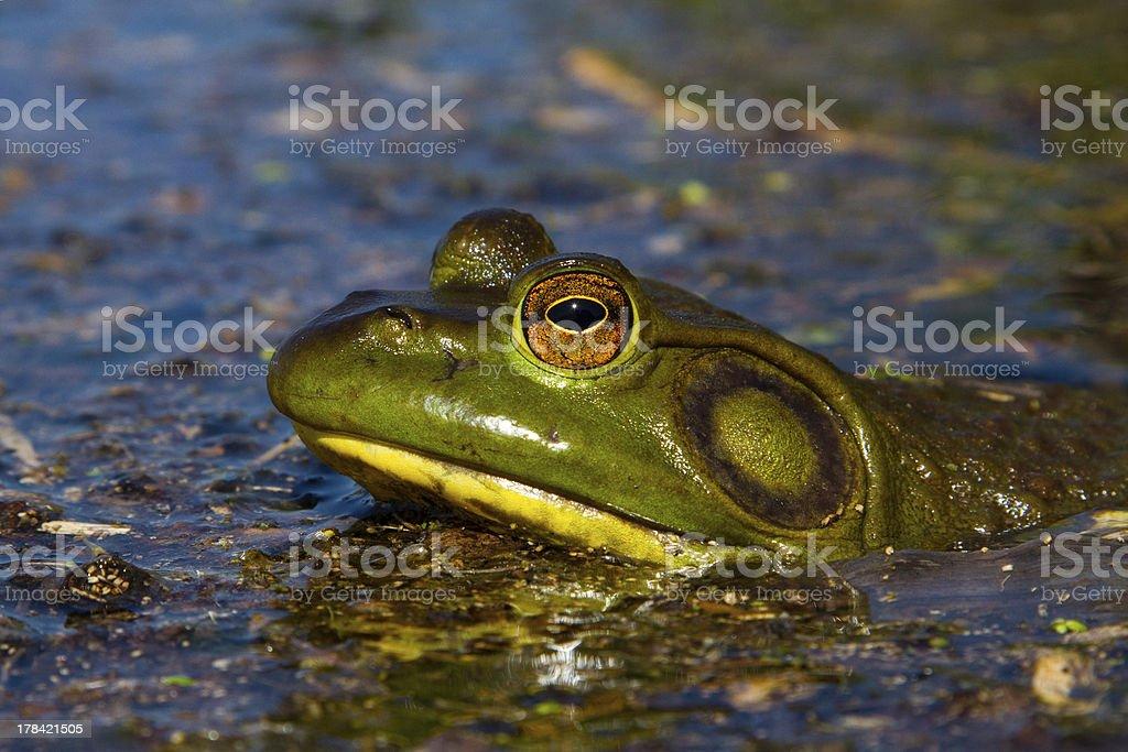 North American Bull Frog royalty-free stock photo