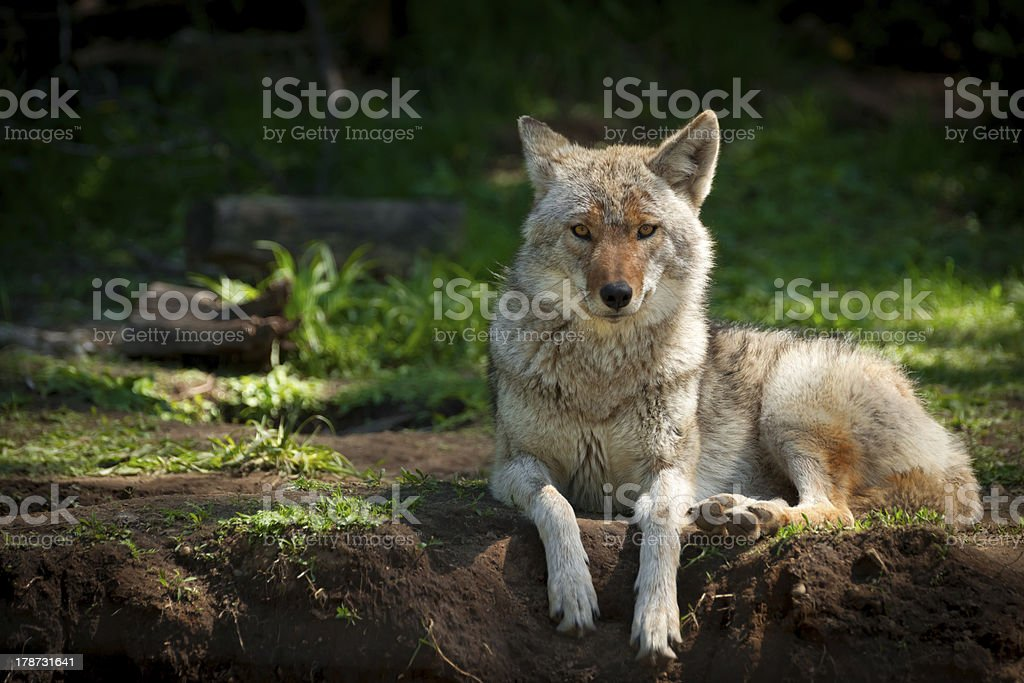 North American Coyote (Canis latrans) stock photo