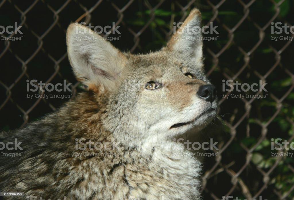 North American Coyote Portrait stock photo