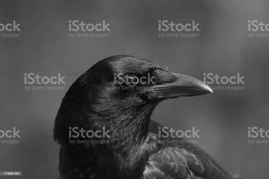 North American Crow stock photo