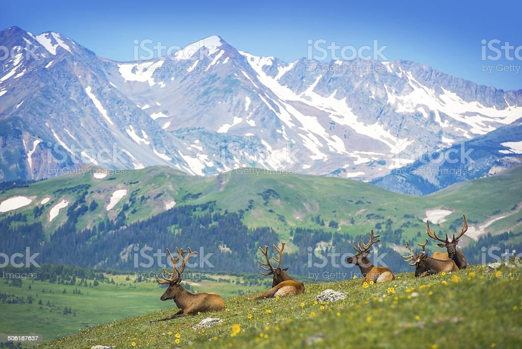 North American Elks stock photo