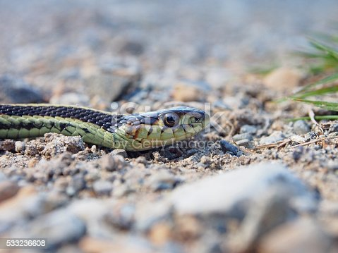 A garter snake - also known as a garden snake or a gardener snake - crosses a hiking trail near Nanaimo, British Columbia, Canada. Garter snakes are small, non-threatening snakes endemic throughout most of North America and some of South and Central America.