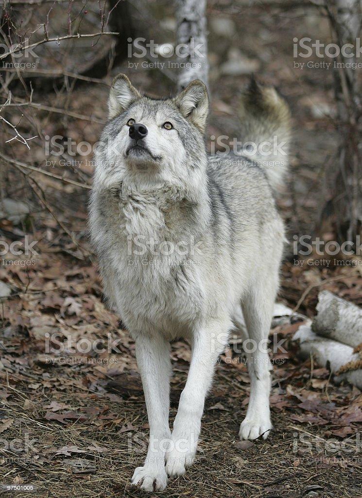 North American Grey Wolf wathing prey in tree royalty-free stock photo