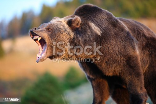 An Adult North American Grizzly (Brown) Bear Growling