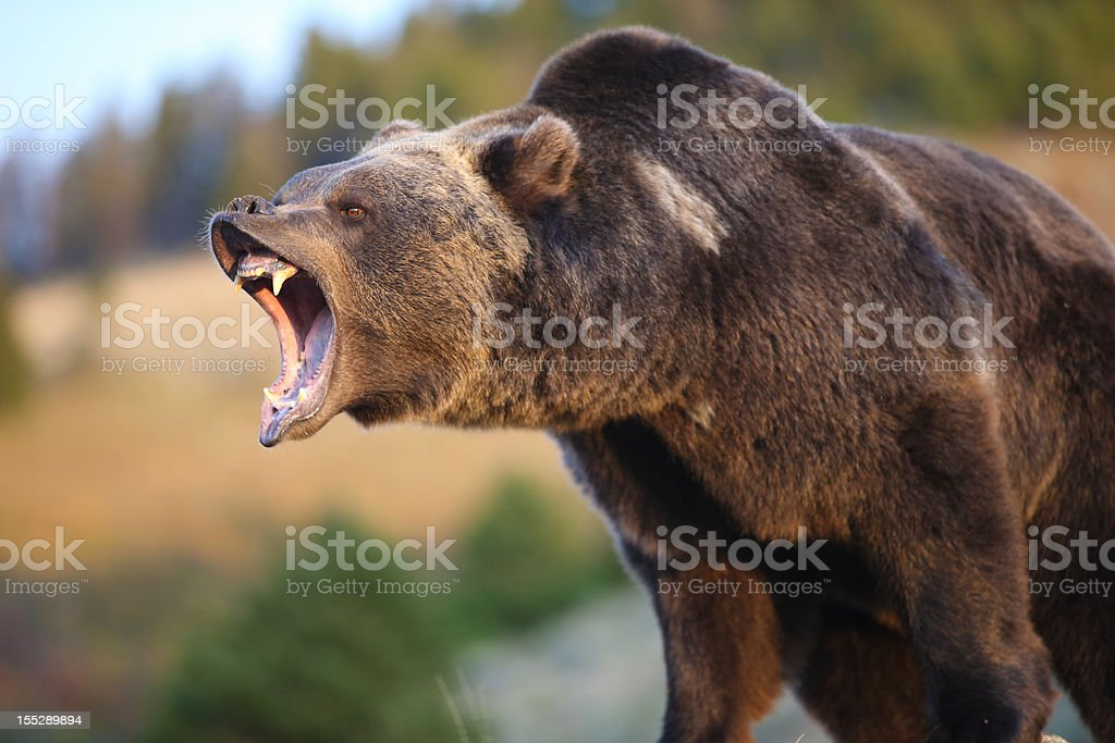 North American Grizzly (Brown) Bear stock photo