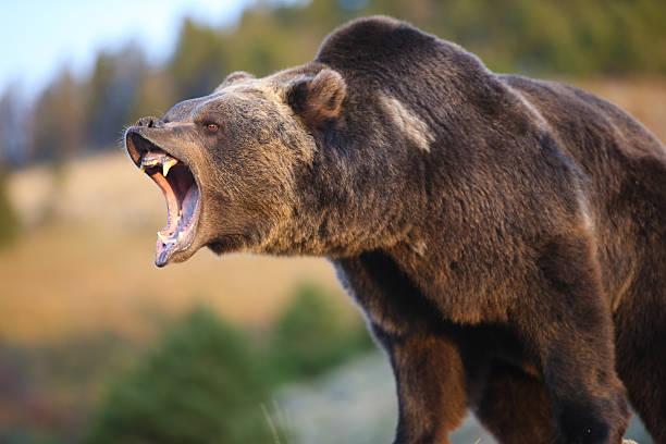 north american grizzly bear (braun) - knurren stock-fotos und bilder