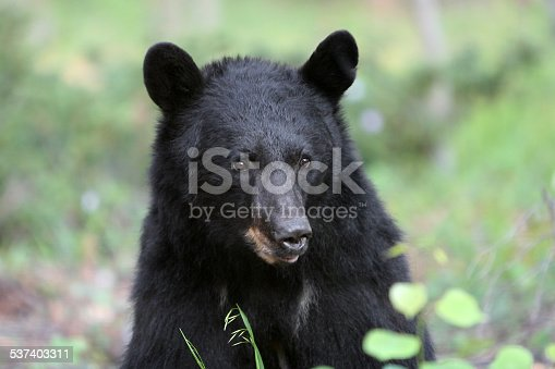 This North American Black Bear was photographed in Northern New Mexico up in the Sangre de Cristo mountains.  She came around often and eventually brought her cubs.  She was easily recognizable by her notched ear.