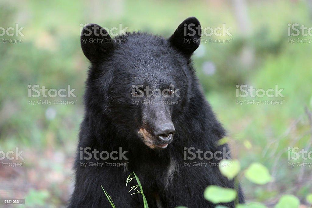 North American Large Black Bear Wild Mammal Face Nature Green stock photo