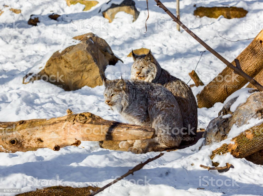 North American Lynx. photo libre de droits