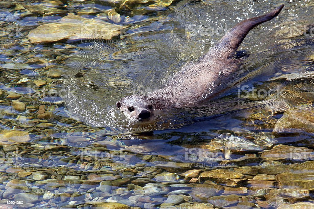 North American river otter (Lontra canadensis canadensis), adult animal stock photo