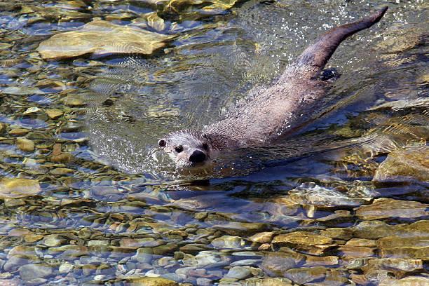 North American river otter (Lontra canadensis canadensis), ausgewachsenes Tier – Foto