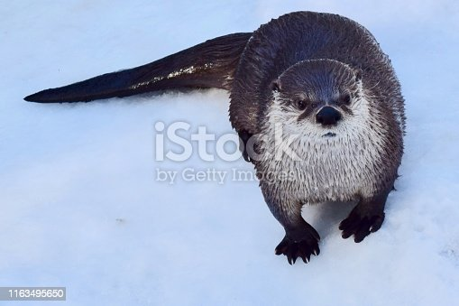 river otter standing in the snow