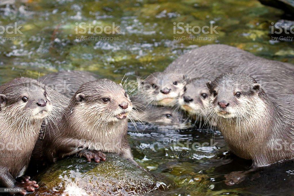North American River Otter Lontra Canadensis Stock-Fotografie und ...