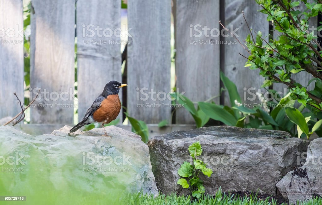 A North American Robin Standing on One Leg on a Rock - Royalty-free Animal Stock Photo