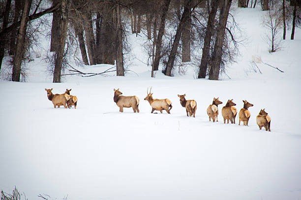North American Western Colorado Mountains Elk Herd North American Elk in Western Colorado Mountains in a herd of Bulls, Cows and Calves in winter in deep snow (photos professionally retouched - Lightroom / Photoshop - original size 5616 x 3744) aisne stock pictures, royalty-free photos & images
