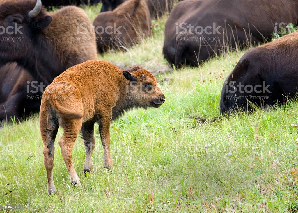 North American Wood Bison Calf royalty-free stock photo