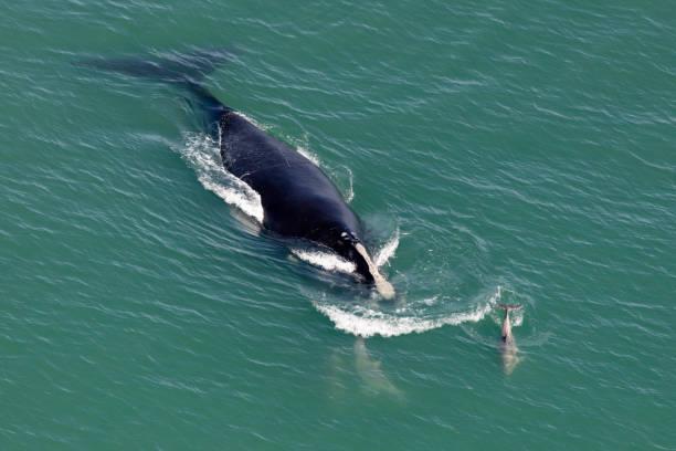 북대서양 오른쪽 고래 스톡 사진