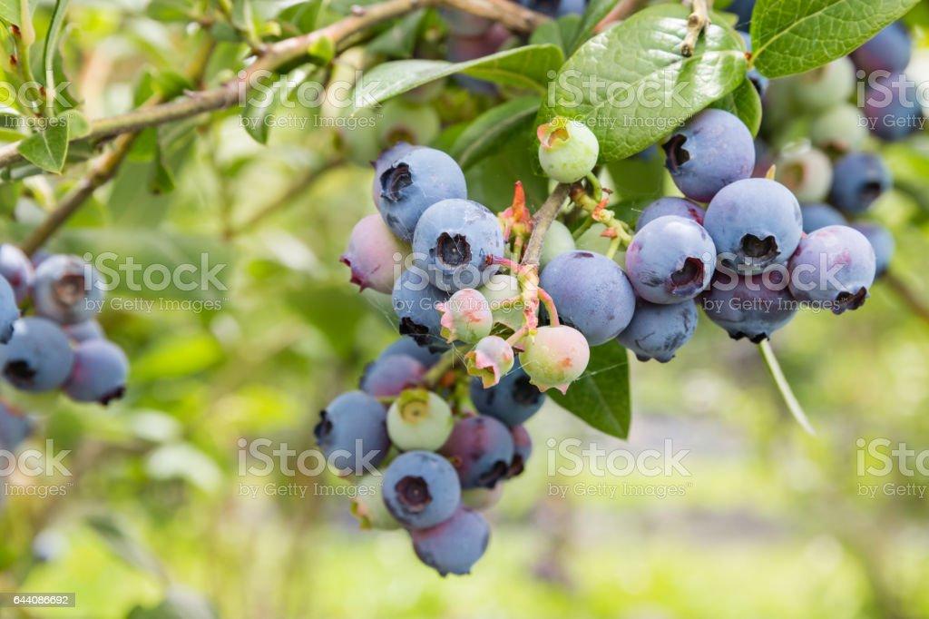 north blue blueberry bush with ripe fruit stock photo