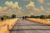 North Botswana family of elephants crossing the road, is hazardous and dangerous to the traffic